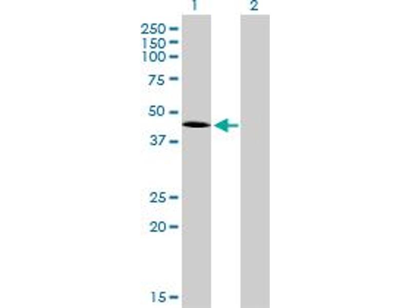 Immunohistochemistry (IHC) image for anti-T Antigen (AA 222-321) antibody (ABIN394406)