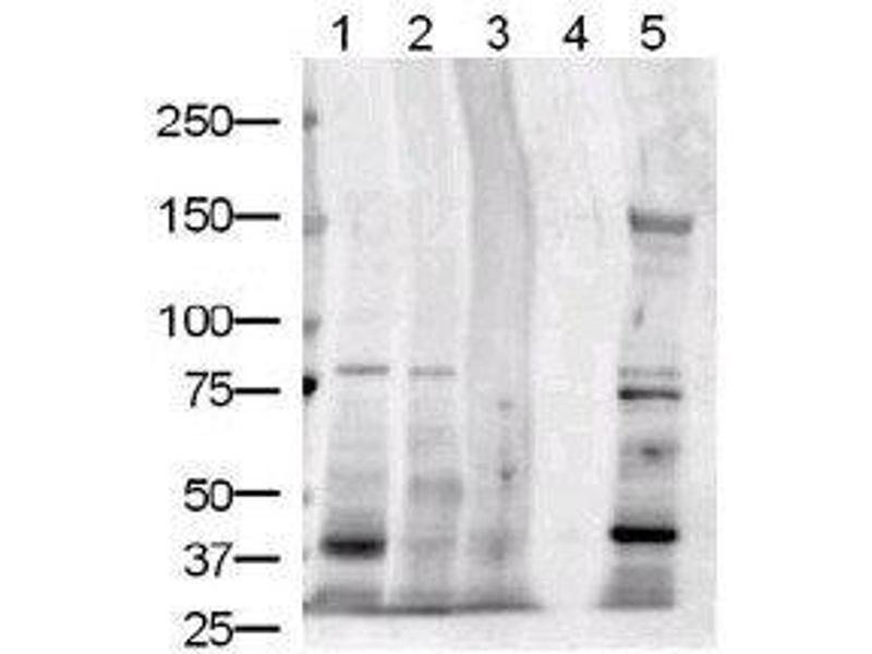 anti-JAG1 antibody | Product No  ABIN269362
