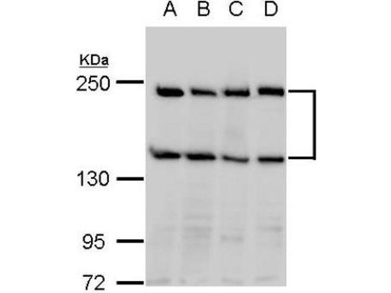 Western Blotting (WB) image for anti-Slit Homolog 2 (Drosophila) (SLIT2) (Center) antibody (ABIN4354560)