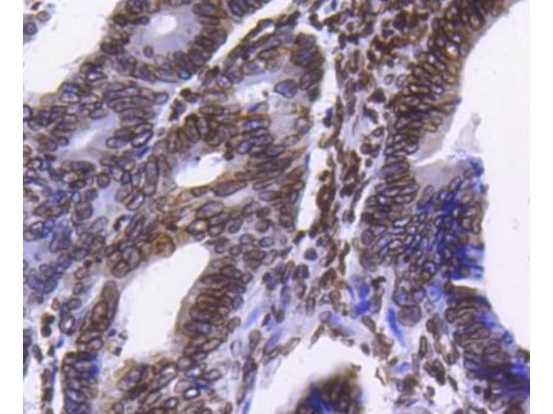 Immunohistochemistry (Paraffin-embedded Sections) (IHC (p)) image for anti-Lamin B1 (LMNB1) (C-Term) antibody (ABIN5946846)