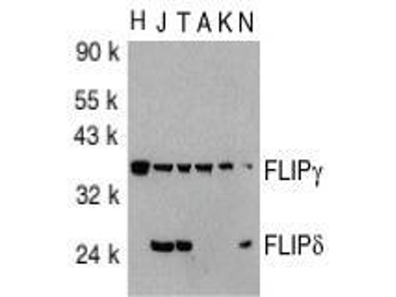 Western Blotting (WB) image for anti-CFLAR antibody (CASP8 and FADD-Like Apoptosis Regulator) (C-Term) (ABIN499850)