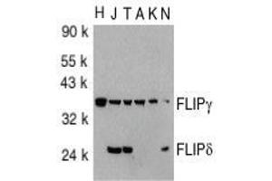 anti-CASP8 and FADD-Like Apoptosis Regulator (CFLAR) (C-Term) antibody (2)