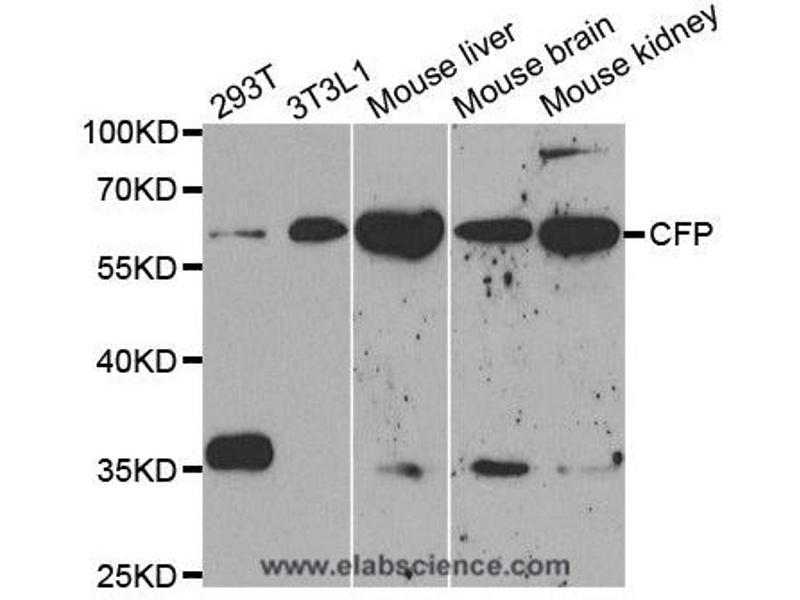 Western Blotting (WB) image for anti-CFP antibody (Complement Factor P) (ABIN2406148)