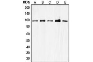 Image no. 2 for anti-Cell Division Cycle 27 Homolog (S. Cerevisiae) (CDC27) (Center) antibody (ABIN2705833)