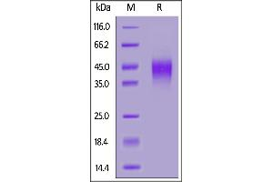 Image no. 2 for C-Type Lectin Domain Family 12, Member A (CLEC12A) (AA 65-265) (Active) protein (AVI tag,His tag,Biotin) (ABIN6973031)