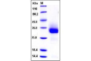 Image no. 1 for Fibroblast Growth Factor 18 (FGF18) (AA 1-207) (Active) protein (His tag) (ABIN2007461)