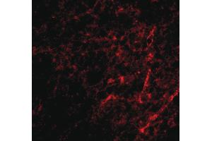 Image no. 3 for anti-Apoptosis-Inducing Factor, Mitochondrion-Associated, 3 (AIFM3) (N-Term) antibody (ABIN6656624)
