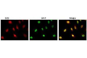 Image no. 1 for anti-EP300 Interacting Inhibitor of Differentiation 1 (EID1) (AA 159-187) antibody (ABIN3201016)