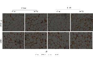 Image no. 4 for anti-Uncoupling Protein 1 (Mitochondrial, Proton Carrier) (UCP1) (AA 101-200) antibody (ABIN675413)