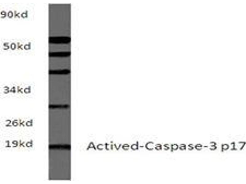 Western Blotting (WB) image for anti-Caspase 3 Antikörper (Caspase 3, Apoptosis-Related Cysteine Peptidase) (ABIN498946)