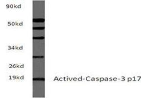 Western Blotting (WB) image for anti-Caspase 3, Apoptosis-Related Cysteine Peptidase (CASP3) antibody (ABIN498946)