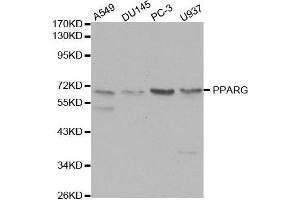 Western Blotting (WB) image for anti-Peroxisome Proliferator-Activated Receptor gamma (PPARG) (N-Term) antibody (ABIN3020844)