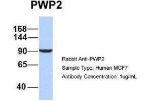 Image no. 3 for anti-PWP2 (Periodic Tryptophan Protein) Homolog, Yeast (PWP2H) antibody (ABIN4890003)