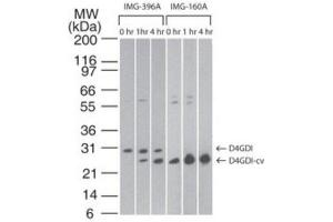Western Blotting (WB) image for anti-rho GDP Dissociation Inhibitor (GDI) beta (ARHGDIB) antibody (ABIN252665)