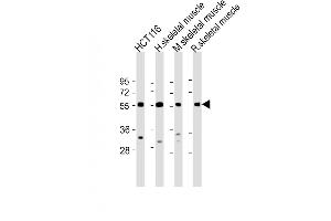 Image no. 1 for anti-Tripartite Motif Containing 72 (TRIM72) (AA 299-327), (C-Term) antibody (ABIN5537808)