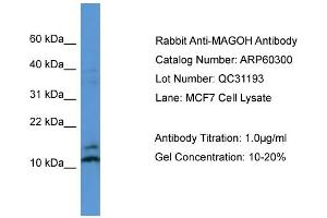 Image no. 2 for anti-Mago-Nashi Homolog, Proliferation-Associated (Drosophila) (MAGOH) (N-Term) antibody (ABIN2788396)