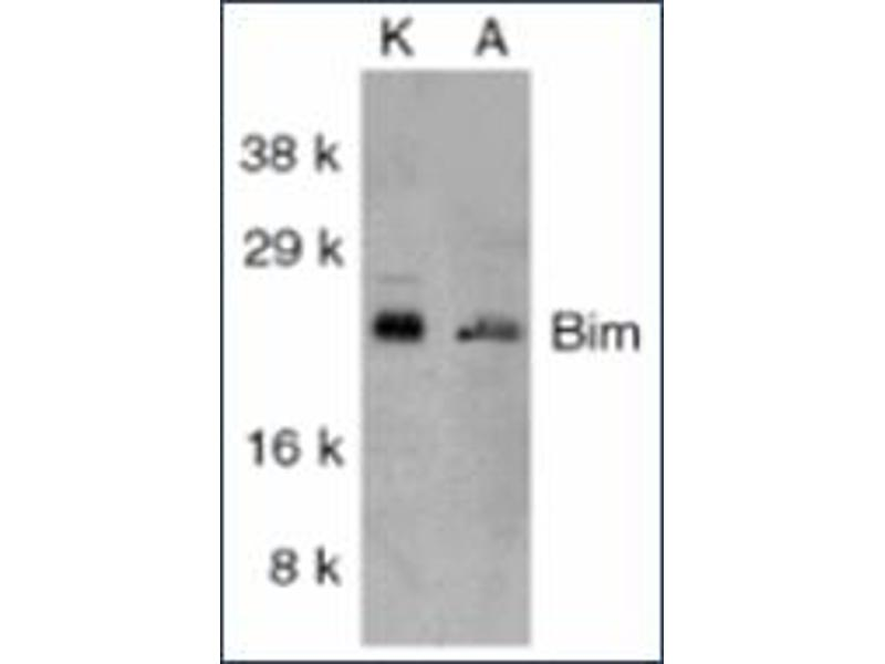 image for anti-BIM antibody (BCL2-Like 11 (Apoptosis Facilitator)) (ABIN264852)