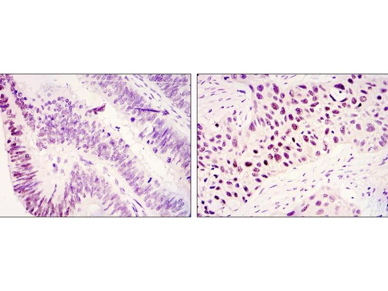 Immunohistochemistry (IHC) image for anti-KDM3A antibody (Lysine (K)-Specific Demethylase 3A) (ABIN969228)