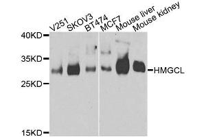 Image no. 2 for anti-3-Hydroxymethyl-3-Methylglutaryl-CoA Lyase (HMGCL) antibody (ABIN6141867)