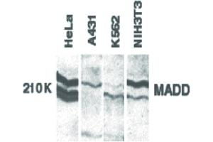 Image no. 1 for anti-MAP-Kinase Activating Death Domain (MADD) (C-Term) antibody (ABIN6656763)