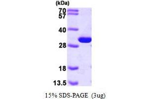 Image no. 1 for phosphoglycerate Mutase 1 (Brain) (PGAM1) (AA 1-254) protein (His tag) (ABIN667196)