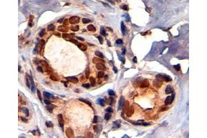 image for anti-Tripartite Motif Containing 28 (TRIM28) (C-Term) antibody (ABIN184913)