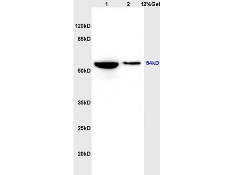 SDS-PAGE (SDS) image for anti-Glycogen Synthase Kinase 3 alpha (GSK3a) (AA 1-50), (pSer21) antibody (ABIN708116)