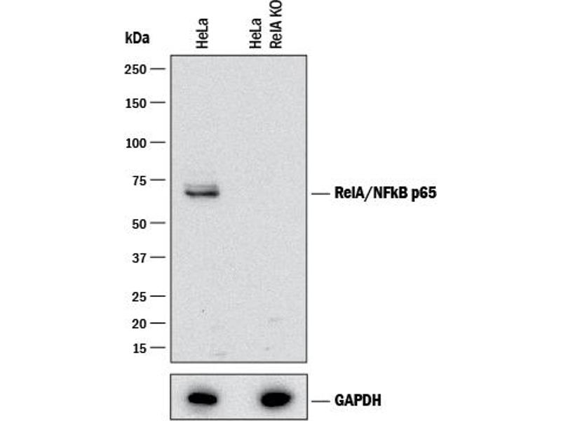 Western Blotting (WB) image for anti-Nuclear Factor-KB P65 (NFkBP65) (AA 456-551), (Isoform 1) antibody (ABIN4900578)