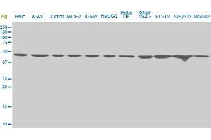 Image no. 1 for anti-Upstream Transcription Factor 2, C-Fos Interacting (USF2) (AA 1-100) antibody (ABIN521290)