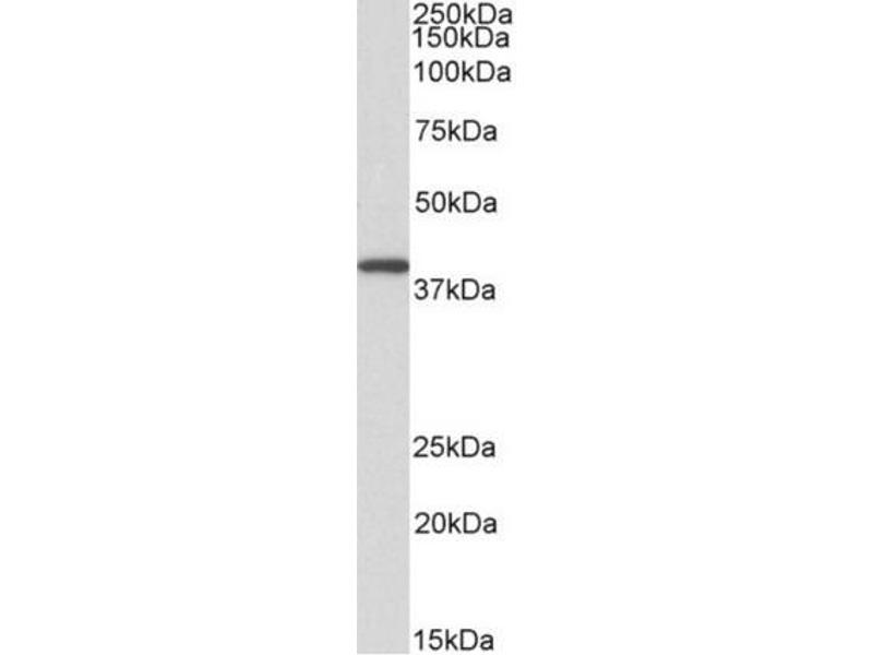 Western Blotting (WB) image for anti-GNAQ antibody (Guanine Nucleotide Binding Protein (G Protein), Q Polypeptide) (AA 162-175) (ABIN615969)