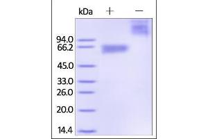 Image no. 1 for CD300a Molecule (CD300A) (AA 18-178) protein (Fc Tag) (ABIN2180744)