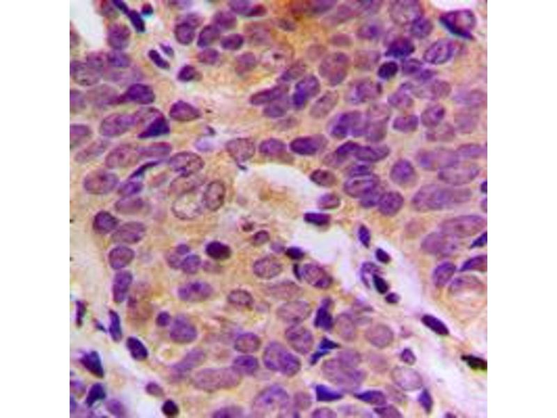 Image no. 1 for anti-Dihydrodiol Dehydrogenase (DDH) (N-Term) antibody (ABIN2707318)