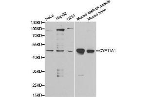 Image no. 1 for anti-Cytochrome P450, Family 11, Subfamily A, Polypeptide 1 (CYP11A1) antibody (ABIN1512804)
