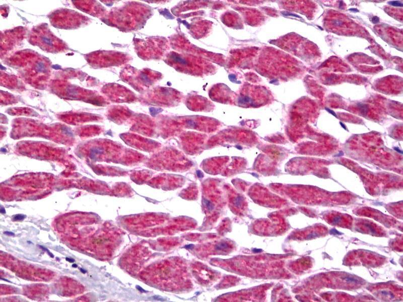 Image no. 2 for anti-Prostaglandin E Synthase 2 (PTGES2) antibody (ABIN2451694)