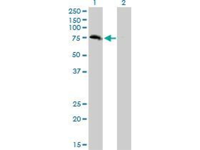 Immunohistochemistry (IHC) image for anti-Zinc Finger, BED-Type Containing 1 (ZBED1) (AA 3-100) antibody (ABIN396624)