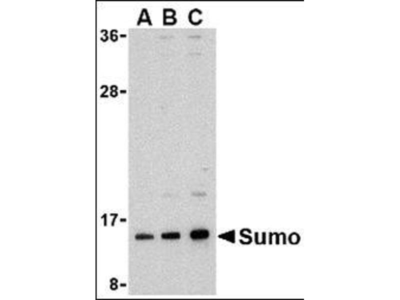 Western Blotting (WB) image for anti-SMT3 Suppressor of Mif Two 3 Homolog 1 (S. Cerevisiae) (SUMO1) (N-Term) antibody (ABIN500837)