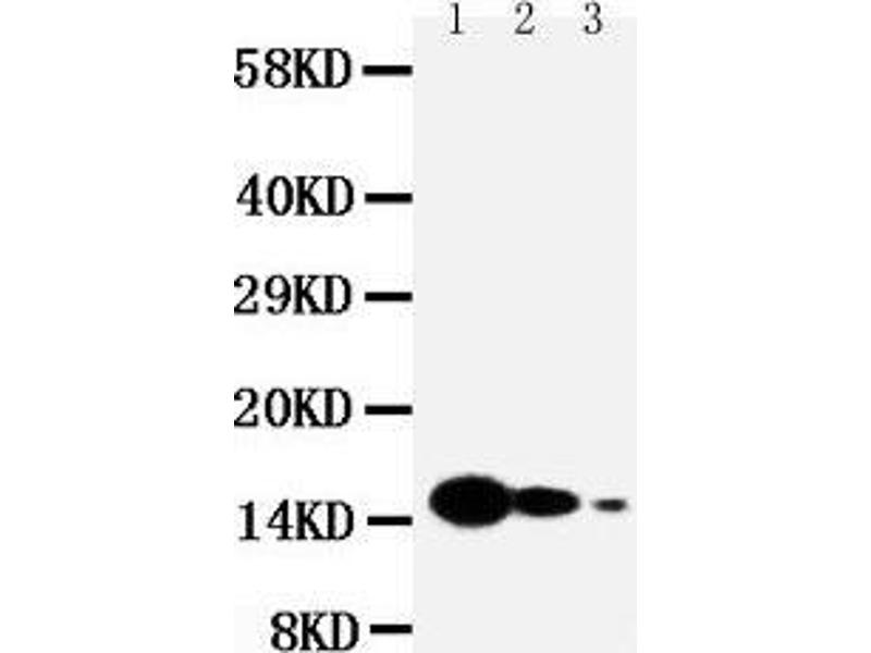 Western Blotting (WB) image for anti-IL7 antibody (Interleukin 7) (AA 26-42) (ABIN3043200)