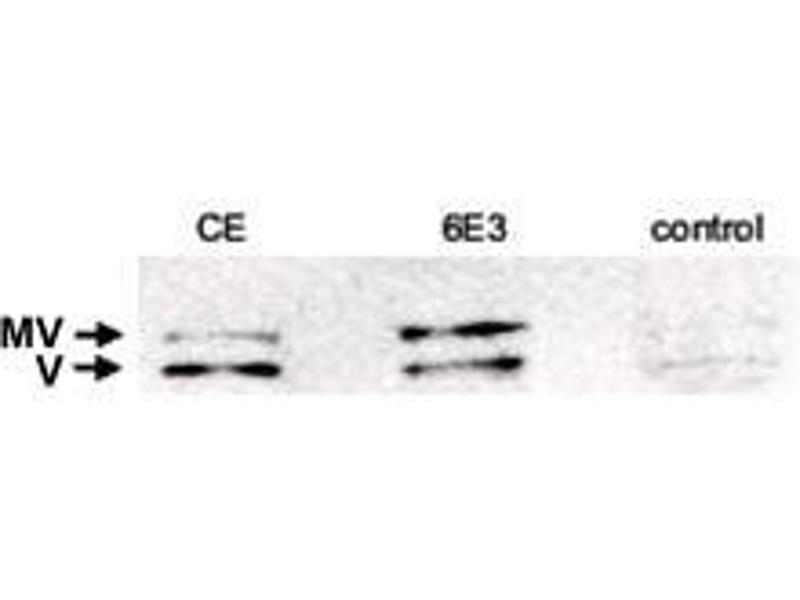 Image no. 3 for anti-Vinculin (VCL) antibody (ABIN289630)