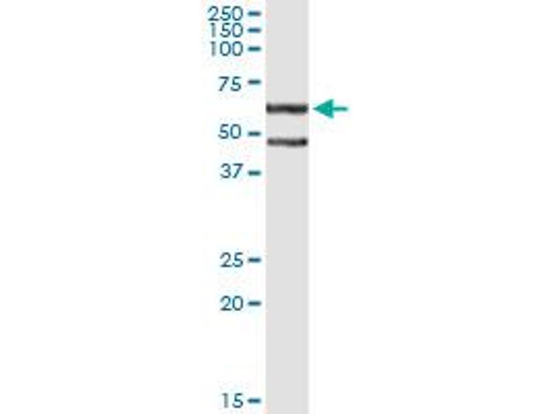 Immunoprecipitation (IP) image for anti-CASP8 and FADD-Like Apoptosis Regulator (CFLAR) (AA 178-277), (partial) antibody (ABIN522287)