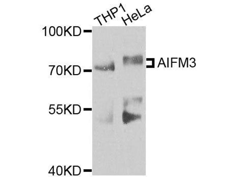 Western Blotting (WB) image for anti-Apoptosis-Inducing Factor, Mitochondrion-Associated, 3 (AIFM3) antibody (ABIN3060302)