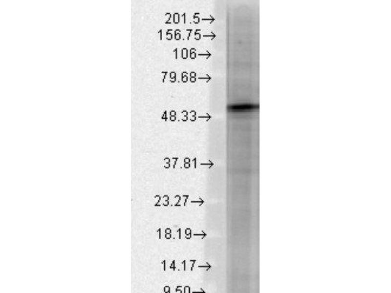 Western Blotting (WB) image for anti-gamma-aminobutyric Acid (GABA) A Receptor, beta 3 (GABRB3) antibody (ABIN4313074)