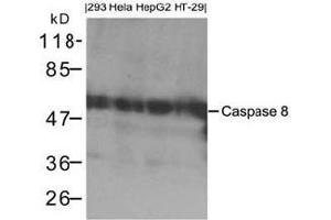 Western Blotting (WB) image for anti-Caspase 8, Apoptosis-Related Cysteine Peptidase (CASP8) (AA 217-221) antibody (ABIN783312)