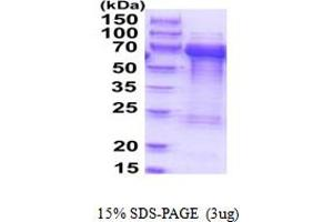 Image no. 1 for Target of Myb1-Like 2 (Chicken) (TOM1L2) (AA 1-507) protein (His tag) (ABIN5854152)