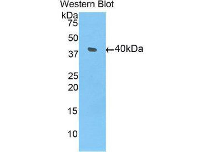 Western Blotting (WB) image for anti-Bone Morphogenetic Protein 10 (BMP10) (AA 315-424) antibody (ABIN1858146)