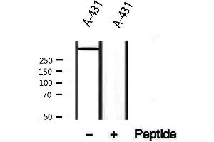 Image no. 1 for anti-Dystonin (DST) antibody (ABIN6261376)