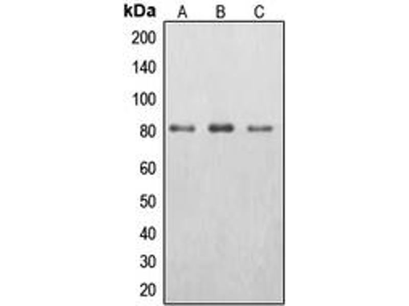 Image no. 1 for anti-EPS8-Like 2 (EPS8L2) (N-Term) antibody (ABIN2707498)