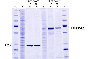 Image no. 2 for GFP VHH, recombinant binding protein (GFP-Trap) (ABIN509407)