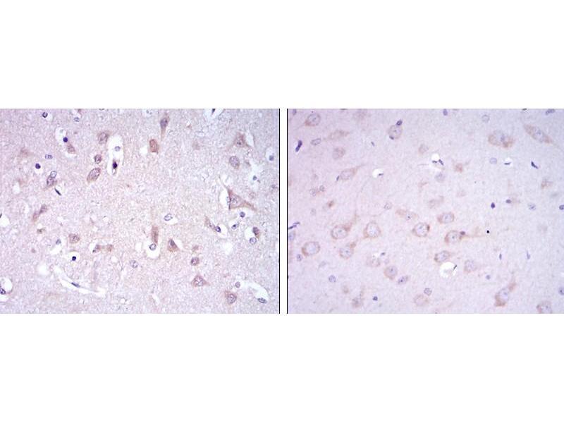 Immunohistochemistry (IHC) image for anti-Glutamate Receptor 3 antibody (Glutamate Receptor, Ionotrophic, AMPA 3) (ABIN1107384)