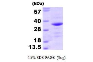 Image no. 1 for BCL2-Associated Athanogene (BAG1) (AA 1-230) protein (ABIN666963)