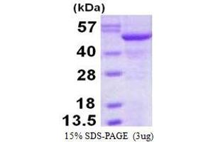 Image no. 1 for SIL1 Homolog, Endoplasmic Reticulum Chaperone (S. Cerevisiae) (SIL1) protein (His tag) (ABIN6386974)